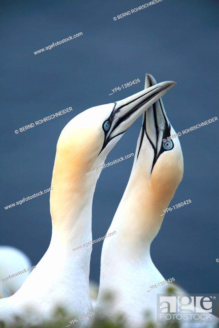 Stock Photo: Northern Gannets, Morus bassanus, displaying pair, Heligoland, Germany.
