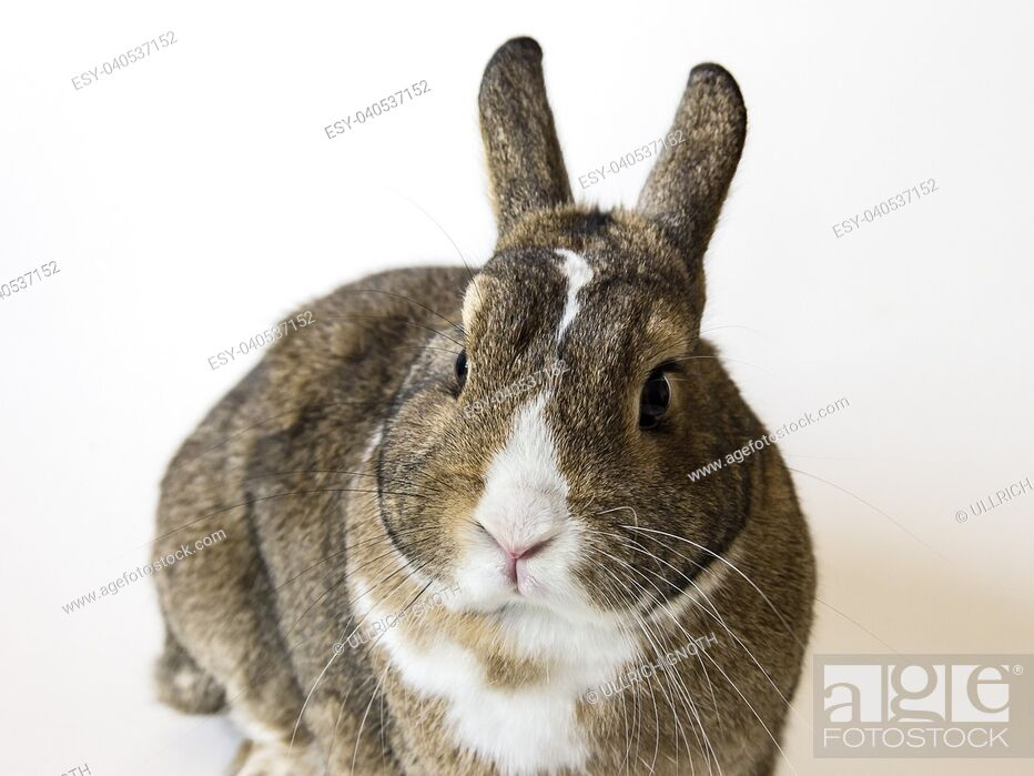 Stock Photo: A rabbit, a pygmy rabbit, an agouti Netherland Dwarf isolated against white background.