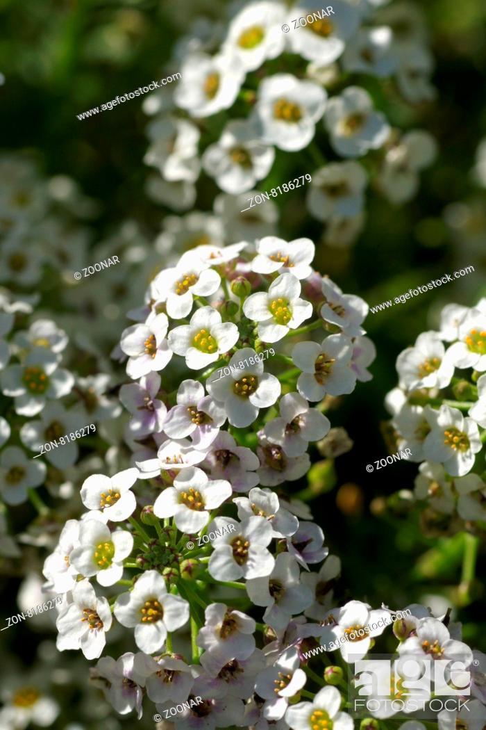 Stock Photo: Lobularia maritima, Duftsteinrich, Sweet alyssum.