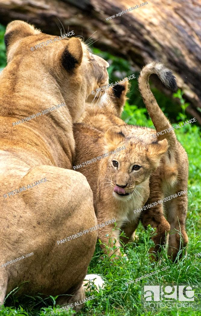 Stock Photo: 30 June 2021, Saxony, Leipzig: A lion cub at Leipzig Zoo roams the lion savannah enclosure together with mother lion Kigali.