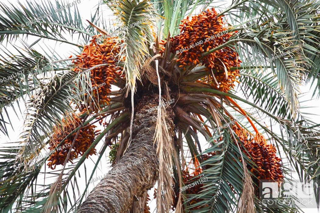 Africa North Africa Tunisia Tamerza Oasis Dates Hanging From