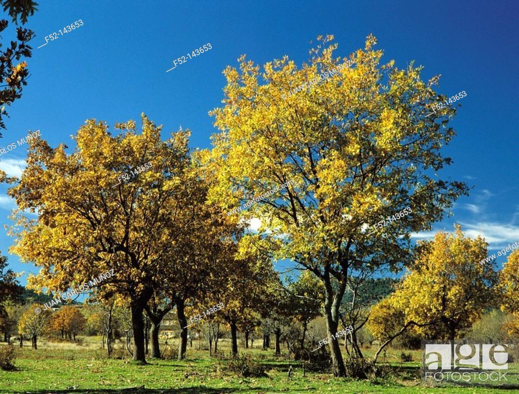 Stock Photo: Pyrenean oak (Quercus pyrenaica). Madrid, Spain.