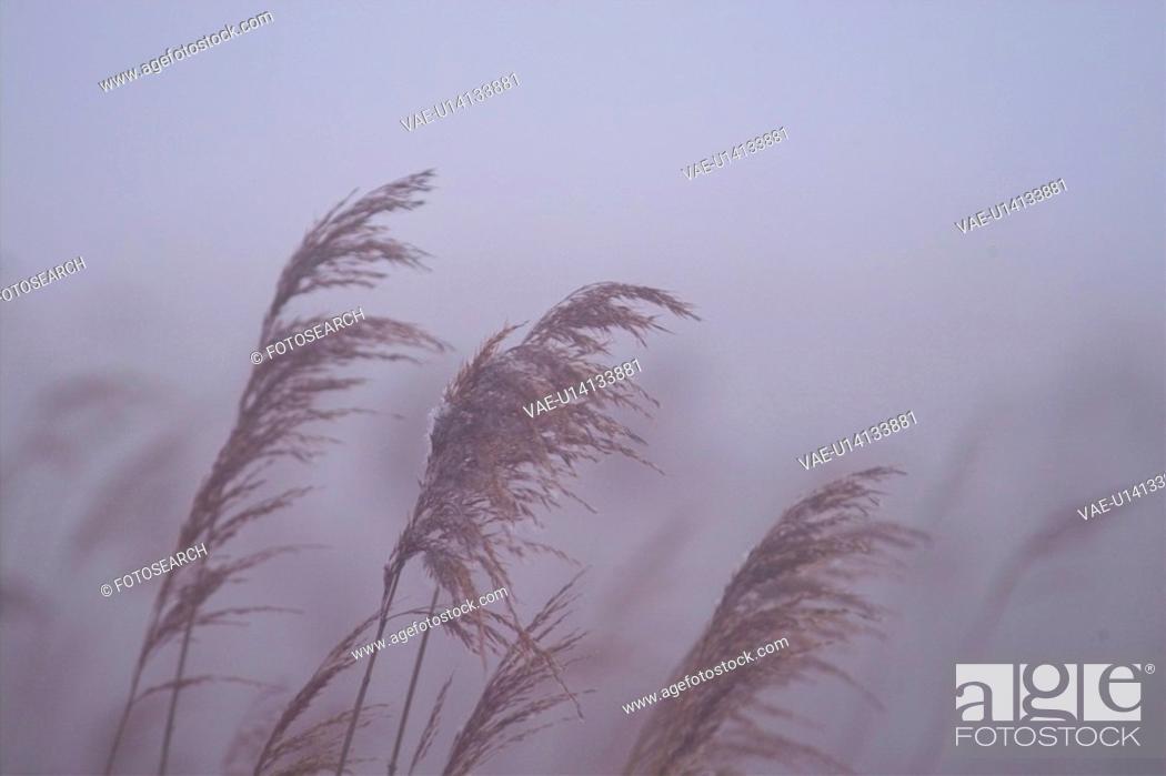 Stock Photo: scenic, scenery, landscape, eulalia, plant, pampass grass, nature.
