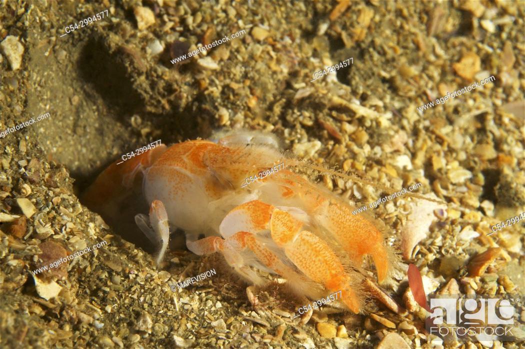 Mud lobster (Upogebia deltaura)  Eastern Atlantic  Galicia