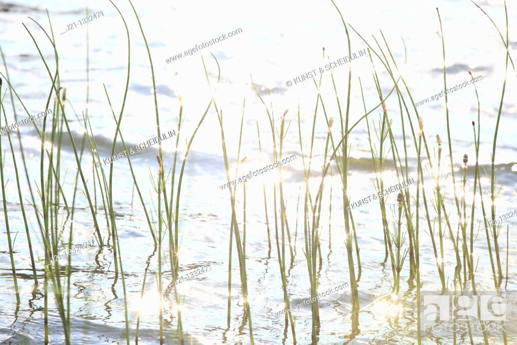 Stock Photo: The spore-bearing strobili of horsetails (Equisetum spp) are moving lightly in a spring breeze. Behind them a lake glitters in the bright sunshine.