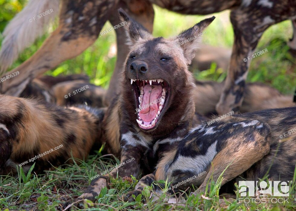 Stock Photo: African wild dog, African hunting dog, Cape hunting dog, Painted dog, Painted wolf, Painted hunting dog, Spotted dog, Ornate wolf (Lycaon pictus), resting pack.