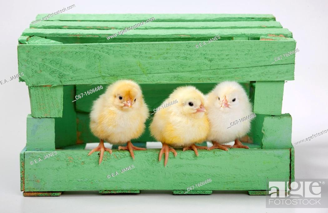 Stock Photo: newly hatched Dayold Chicks in green box.