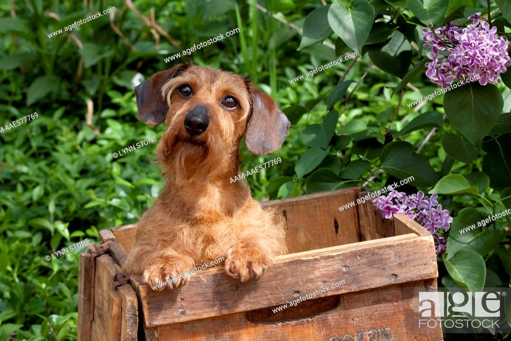 Dachshund Tan Wire Haired Variety In Old Wooden Egg Crate By Lilac