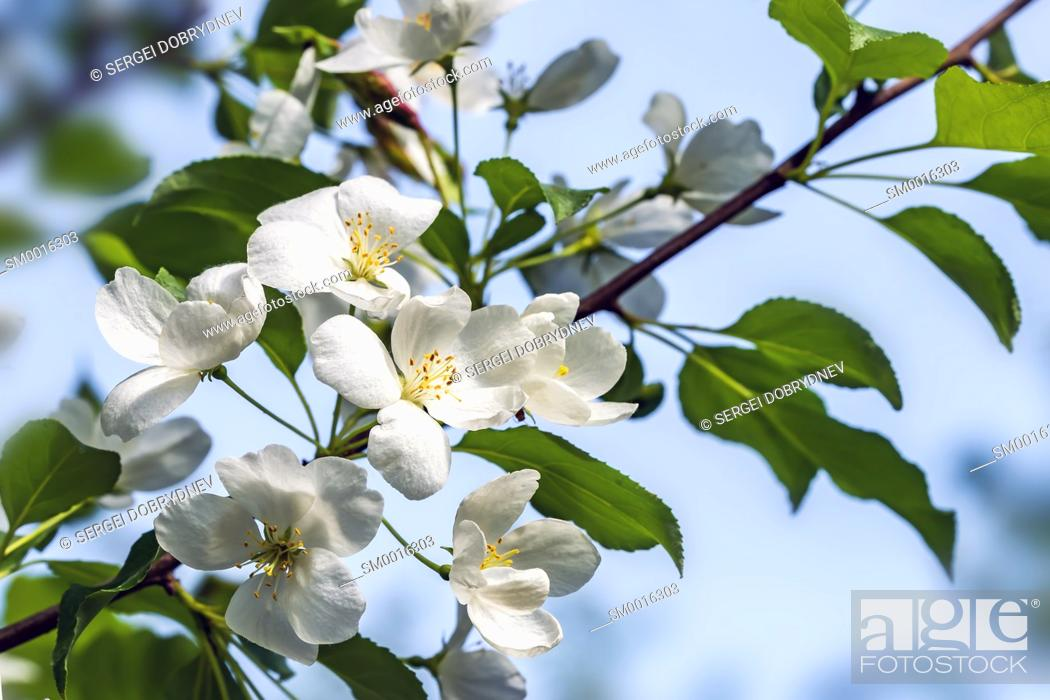 Stock Photo: Beautiful flowering apple trees. background with blooming flowers in spring day. selective focus and bokeh.