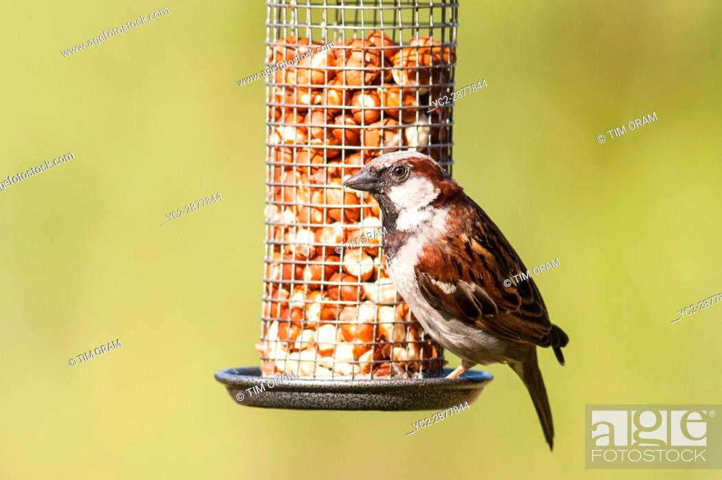 Stock Photo: A close up bird portrait of a male house sparrow (passer domesticus) in a uk garden.