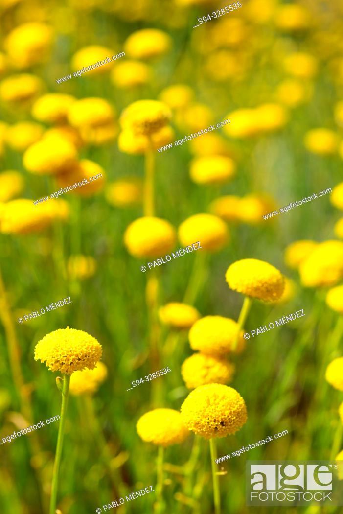 Stock Photo: Green lavender cotton (Santolina rosmarinifolia) in a fields of Bustarviejo, Madrid, Spain.