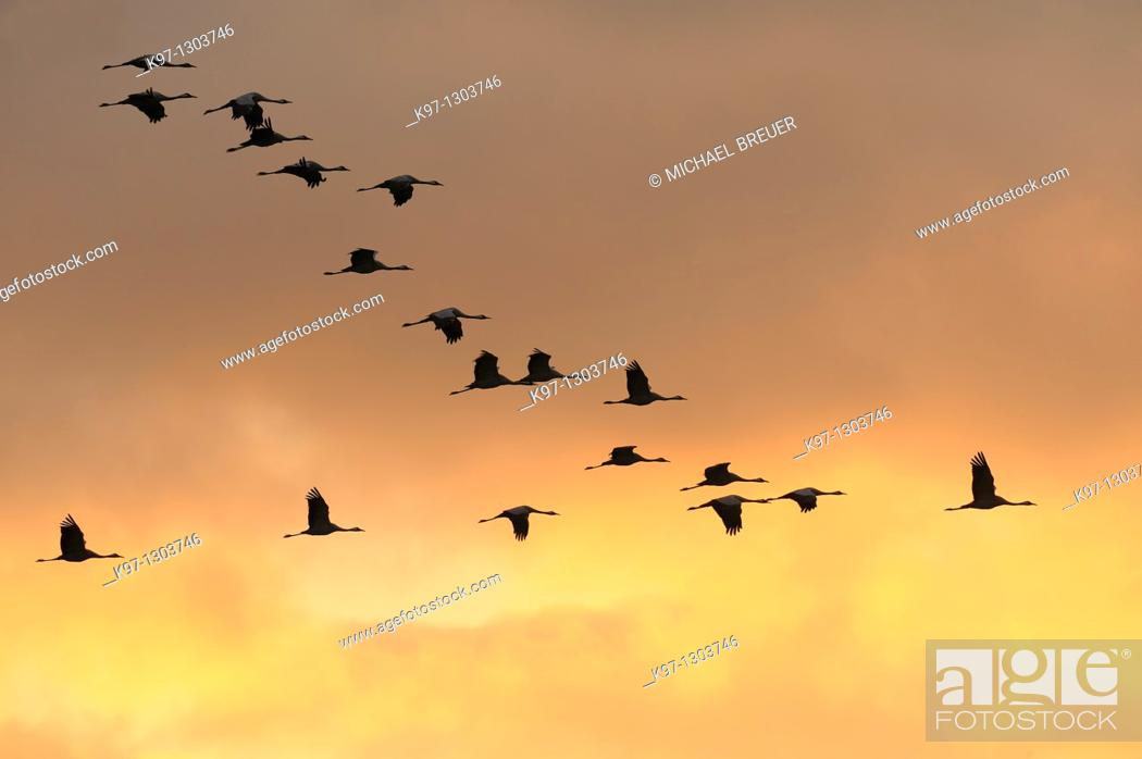 Stock Photo: Common cranes (Grus grus) at sunset, Mecklenburg-Western Pomerania, Germany, Europe.