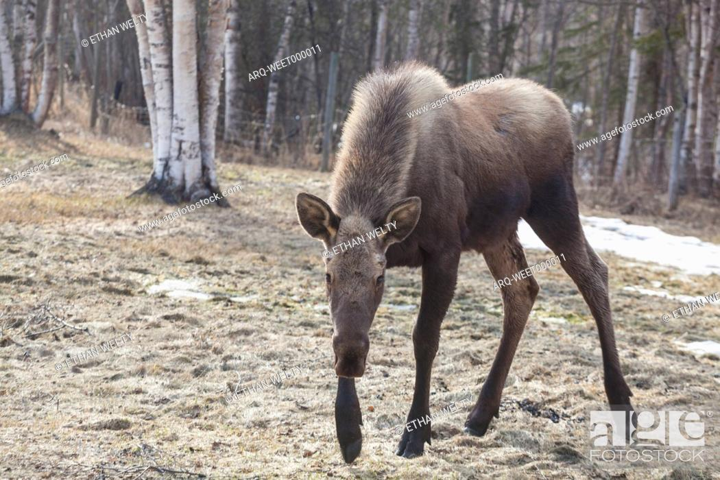 Stock Photo: A young moose (Alces alces) wanders into a field on a farm in Chugiak, Alaska.