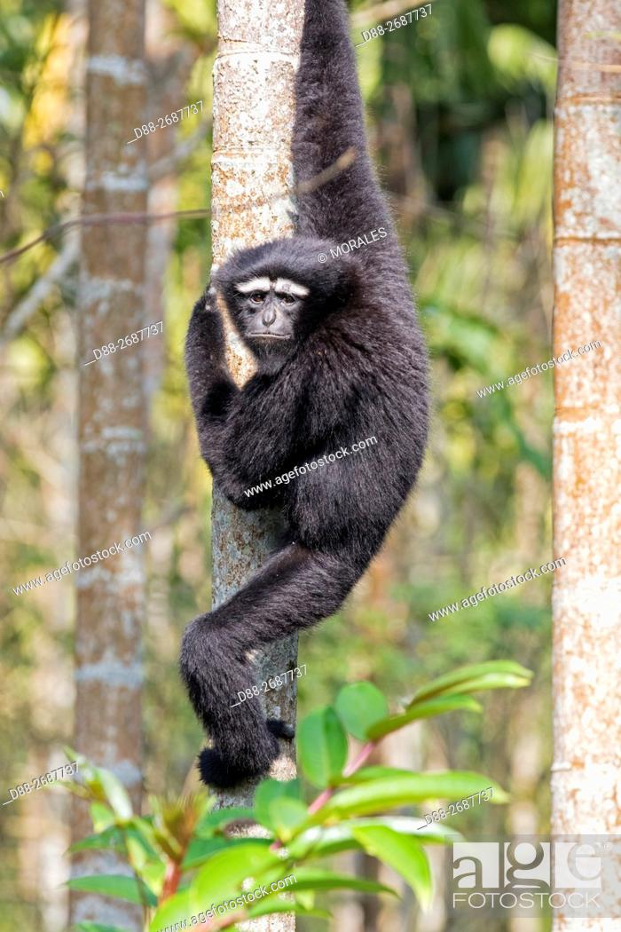 Stock Photo: South east Asia, India, Tripura state, Gumti wildlife sanctuary, Western hoolock gibbon (Hoolock hoolock), adult male.