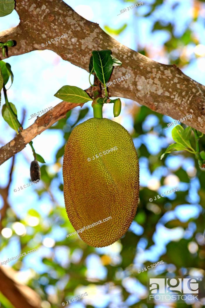Stock Photo: Jackfruit (Artocarpus heterophyllus), Nosy Komba, Madagascar, Africa.