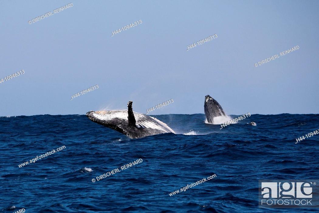 Stock Photo: Breaching Humpback Whale, Megaptera novaeangliae, Indian Ocean, Wild Coast, South Africa, Humpback Whale, Whale, Whales, Balaenopteridae, Mysticeti, Cetacea.