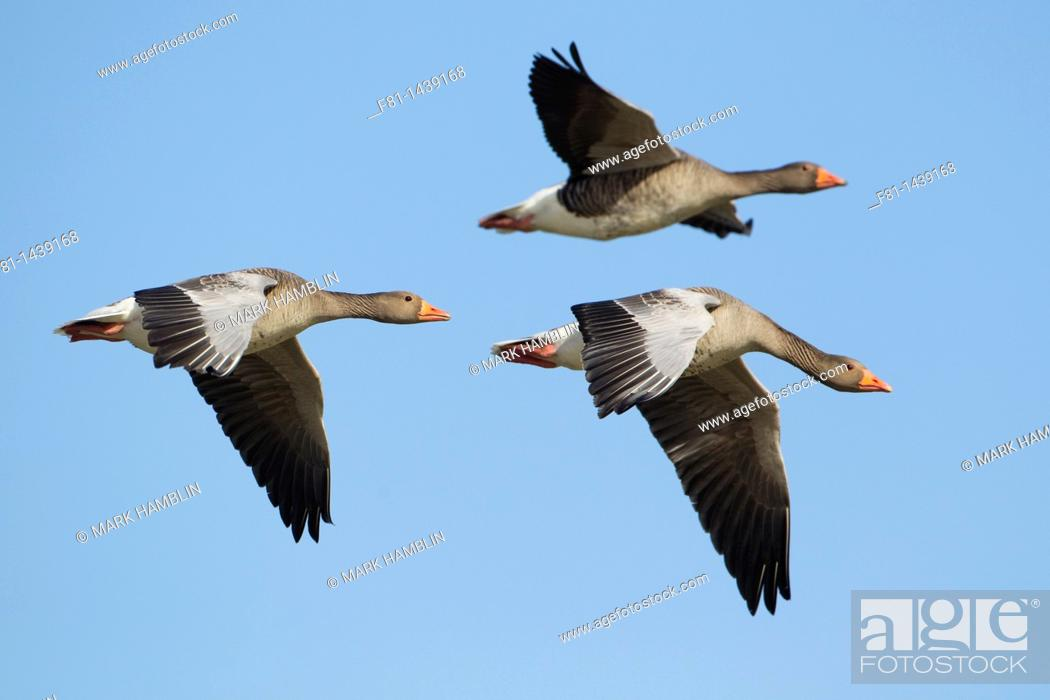 Stock Photo: Greylag goose Anser anser three adults in flight, Iceland, April 2010.