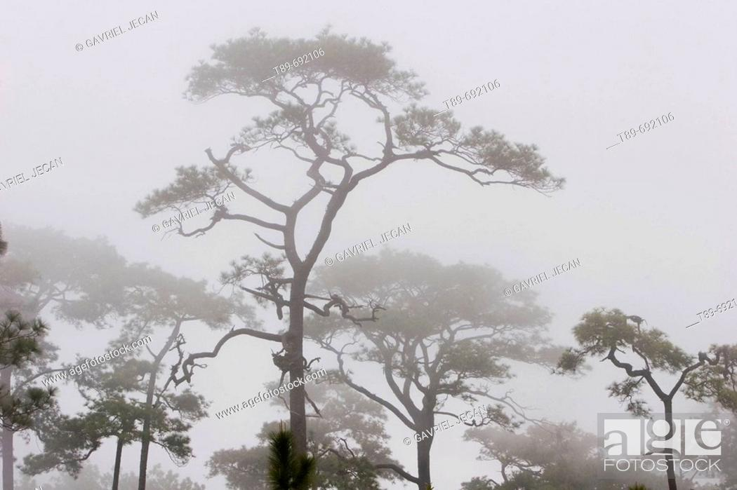 Stock Photo: Pine trees in the morning mist.