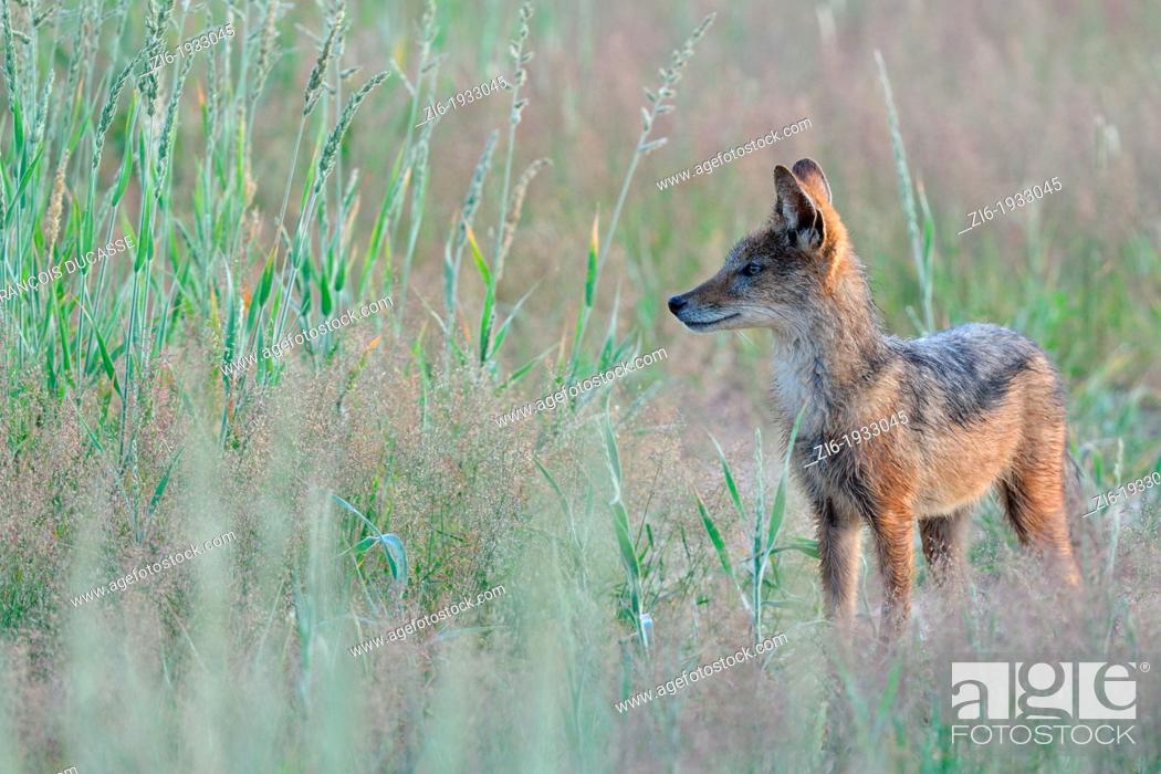 Stock Photo: Black-backed Jackal, Canis mesomelas, Kgalagadi Transfrontier Park, Northern Cape, South Africa.
