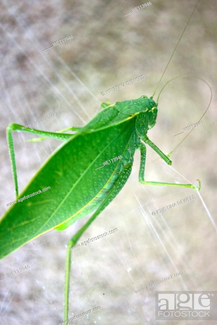 Stock Photo: A large green katydid on a spiderweb.