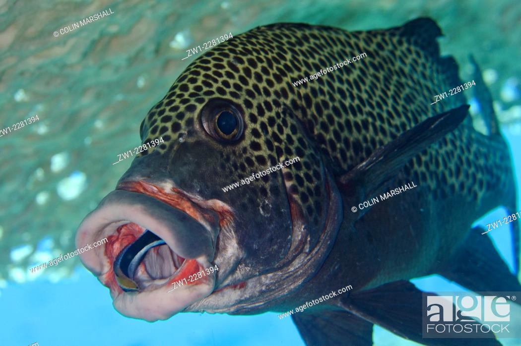 Stock Photo: Bluestreak Cleaner Wrasse (Labroides dimidiatus) in the mouth of Many-spotted Sweetlips (Plectorhinchus chaetodonoides) under table coral.