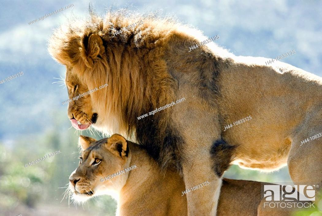 African Lion, Panthera leo, two lions, couple, female, male