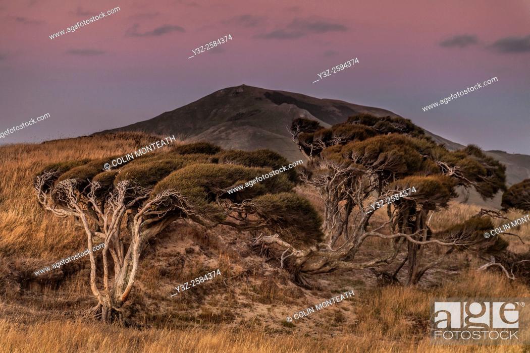 Imagen: Manuka tree shaped by strong wind, alpenglow , Hooper's Inlet, Otago Peninsula, New Zealand.