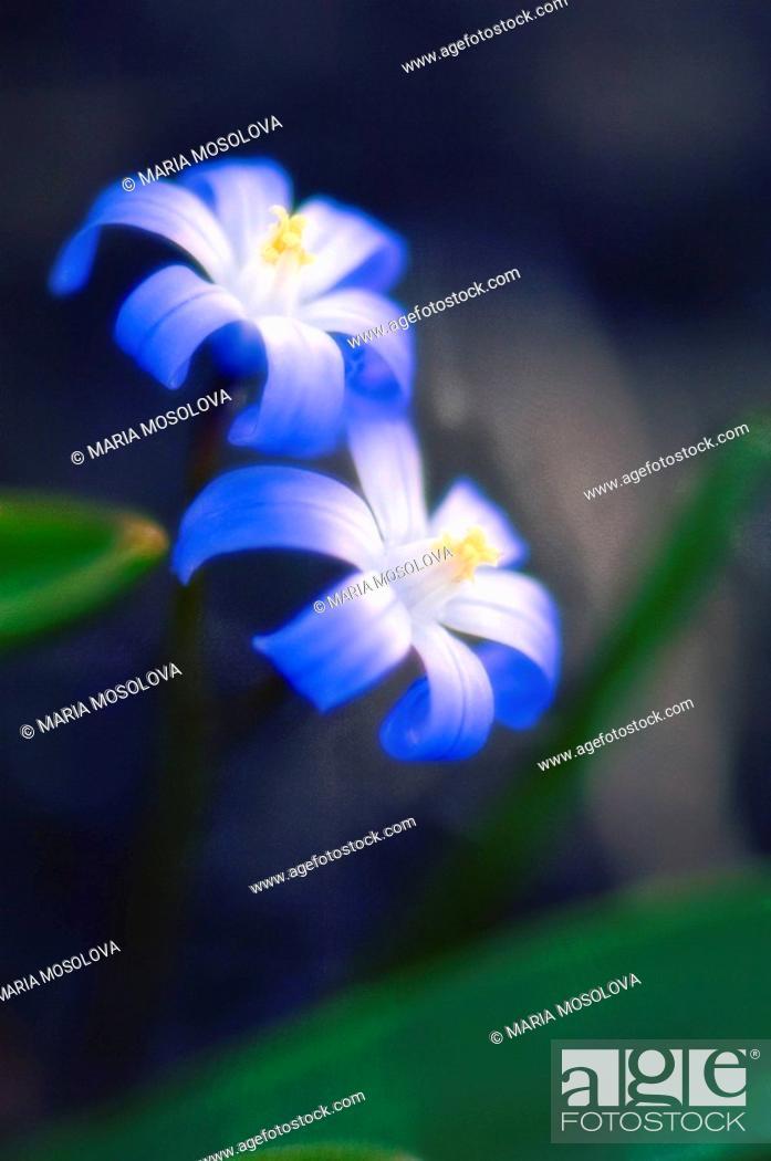 Stock Photo: Two Blue Scilla Flowers. Scilla siberica. March 2007, Maryland, USA.