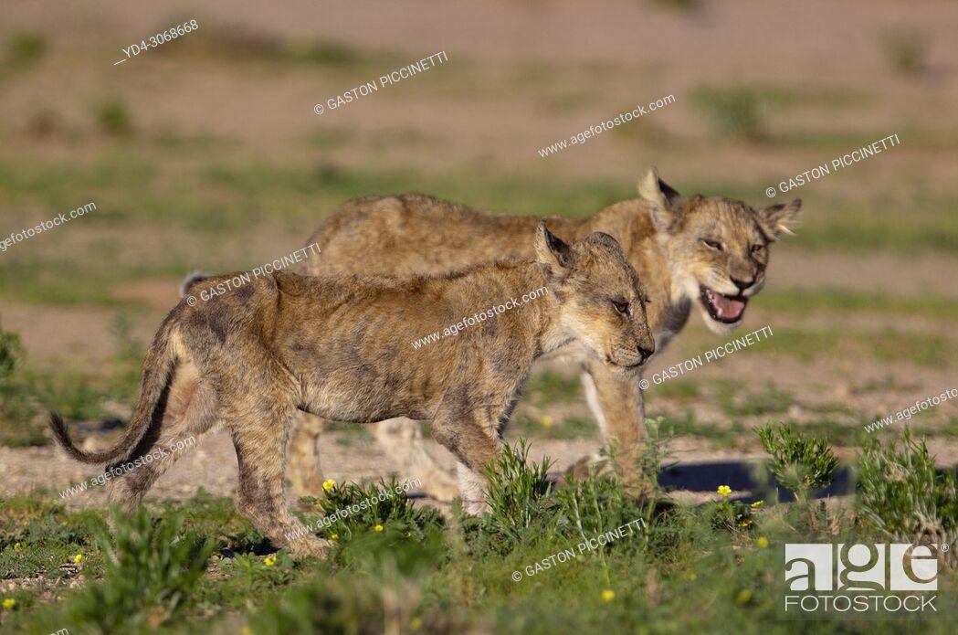 Stock Photo: African lion (Panthera leo) -Cubs, Kgalagadi Transfrontier Park, Kalahari desert, South Africa/Botswana. .