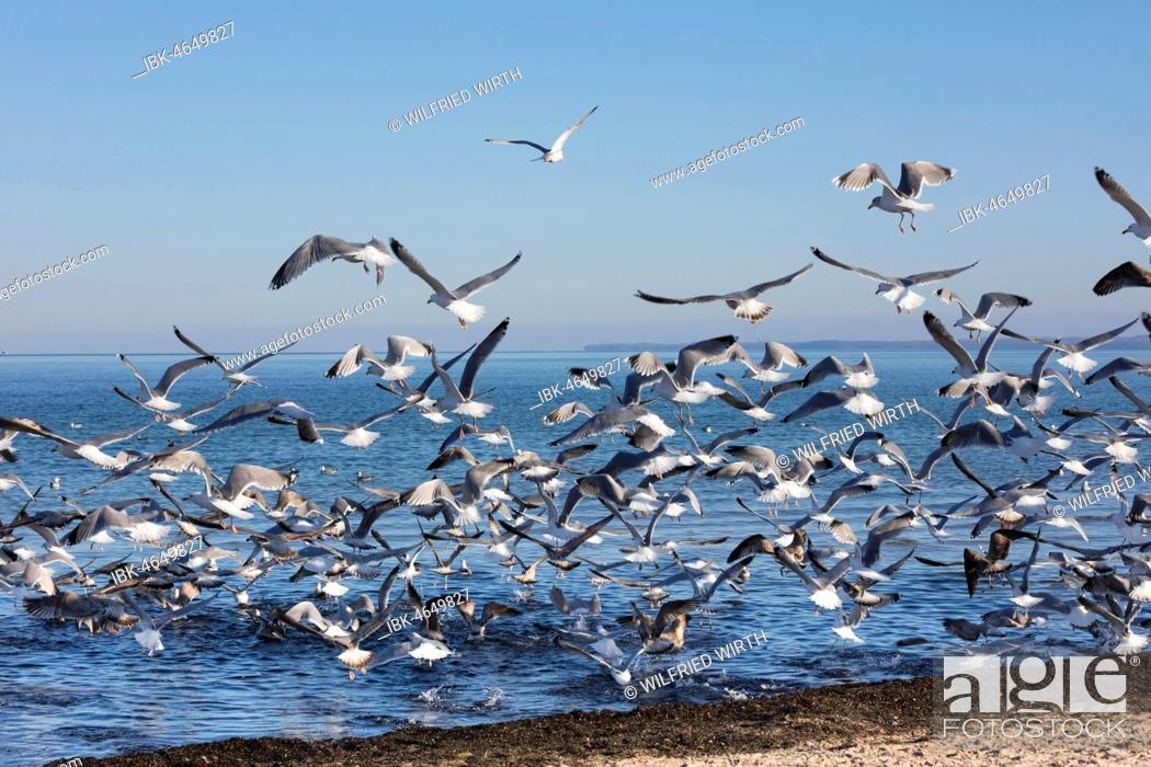 Stock Photo: Swarm Seagulls (Laridae) flying off at the beach, Baltic Sea coast, Lübeck Bay, Schleswig-Holstein, Germany.