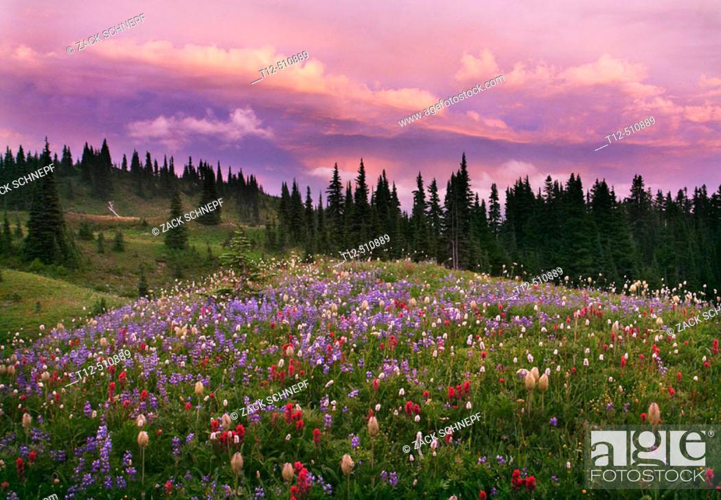 Stock Photo: Wildflowers at sunset on Mount Rainier.