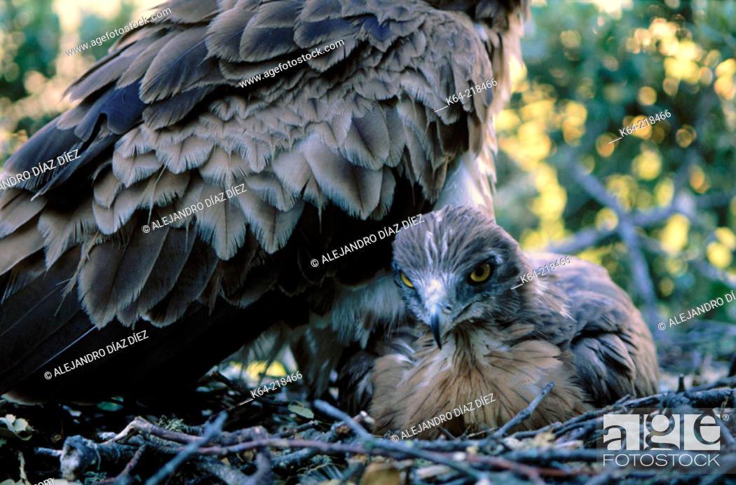 Stock Photo: Short-toed Eagle (Circaetus gallicus) in nest.