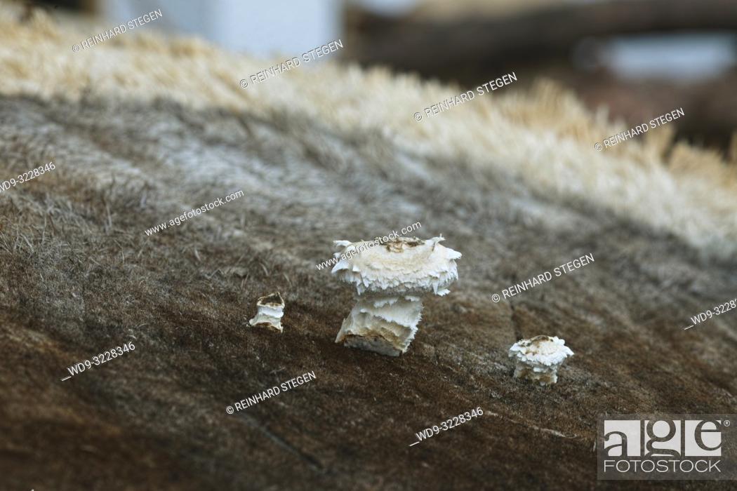 Imagen: fungus, mushooms on wood, Bavaria, Germany.