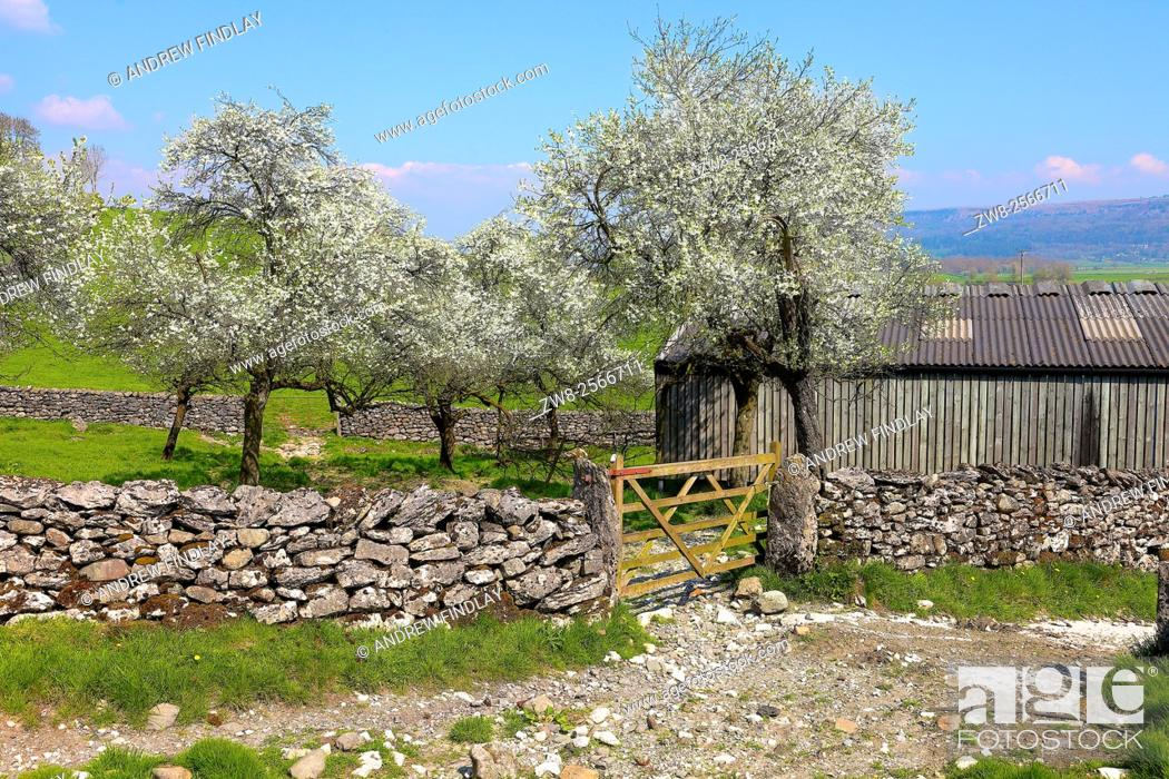 Stock Photo: Lyth Valley. Damson tree orchard in blossom. Flodder Hall Farm, The Howe, Lake District National Park, Cumbria, England, United Kingdom.