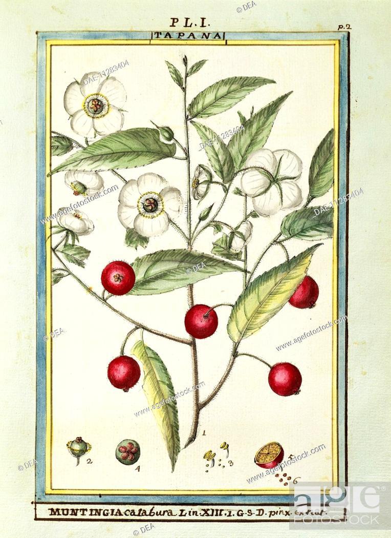 Stock Photo: Herbal, 18th century. Florindie ou Historie physico-economique des vegetaux de la Torride, 1789. Plate: Jamaican cherry (Muntingia calabura).