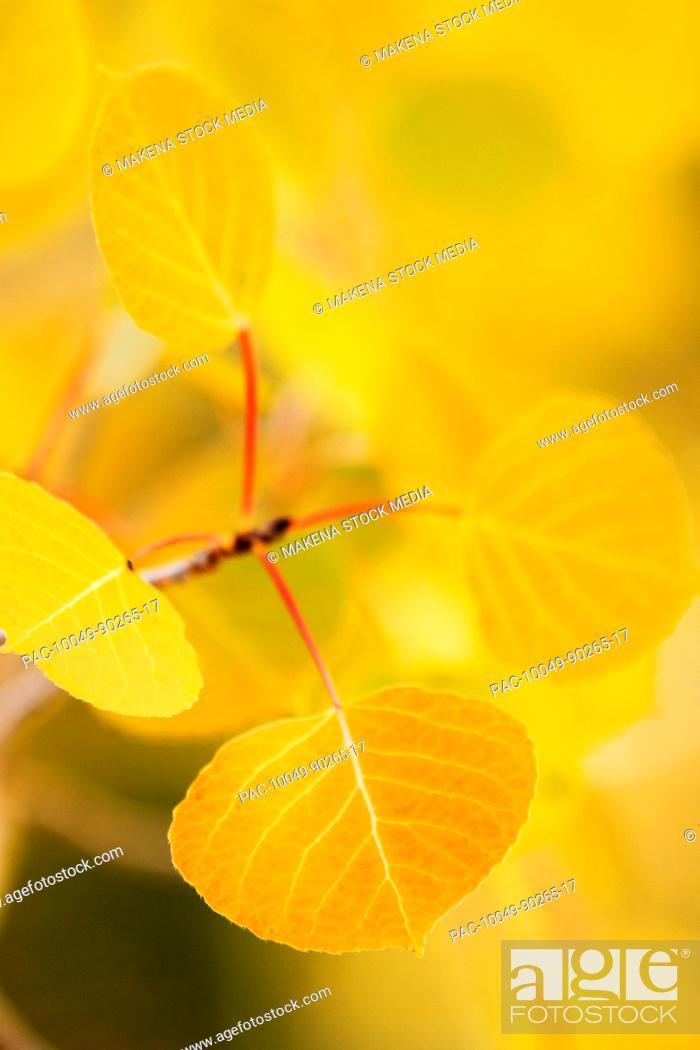 Stock Photo: California, Eastern sierras, Beautiful aspen tree displaying vibrant fall colors.