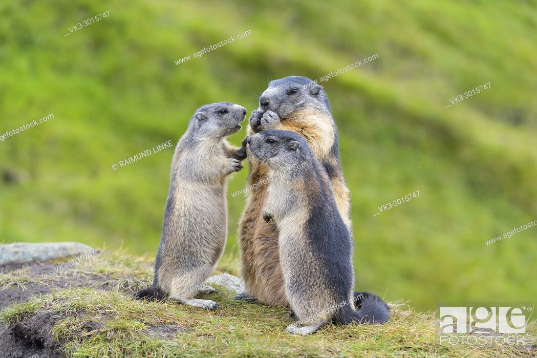 Photo de stock: Alpine Marmot, Marmota marmota, adult with two youngs, Hohe Tauern National park, Austria.