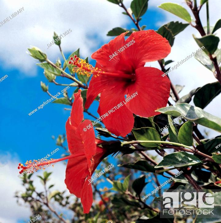 Stock Photo: Shoeblackplant, Chinese Hibiscus or China Rose (Hibiscus rosa-sinensis), Malvaceae.