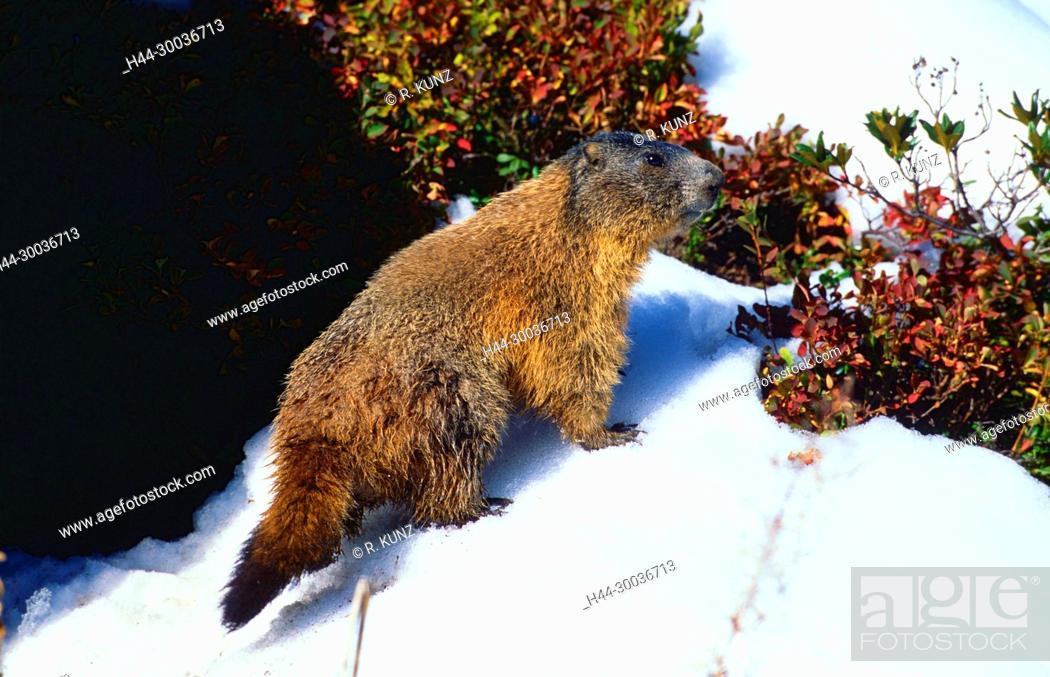 Stock Photo: Alpine Marmot, Marmota marmota, Sciuridae, Marmot, rodent, mammal, animal, Dischmatal, Davos, Alps, Canton of Graubünden, Switzerland.