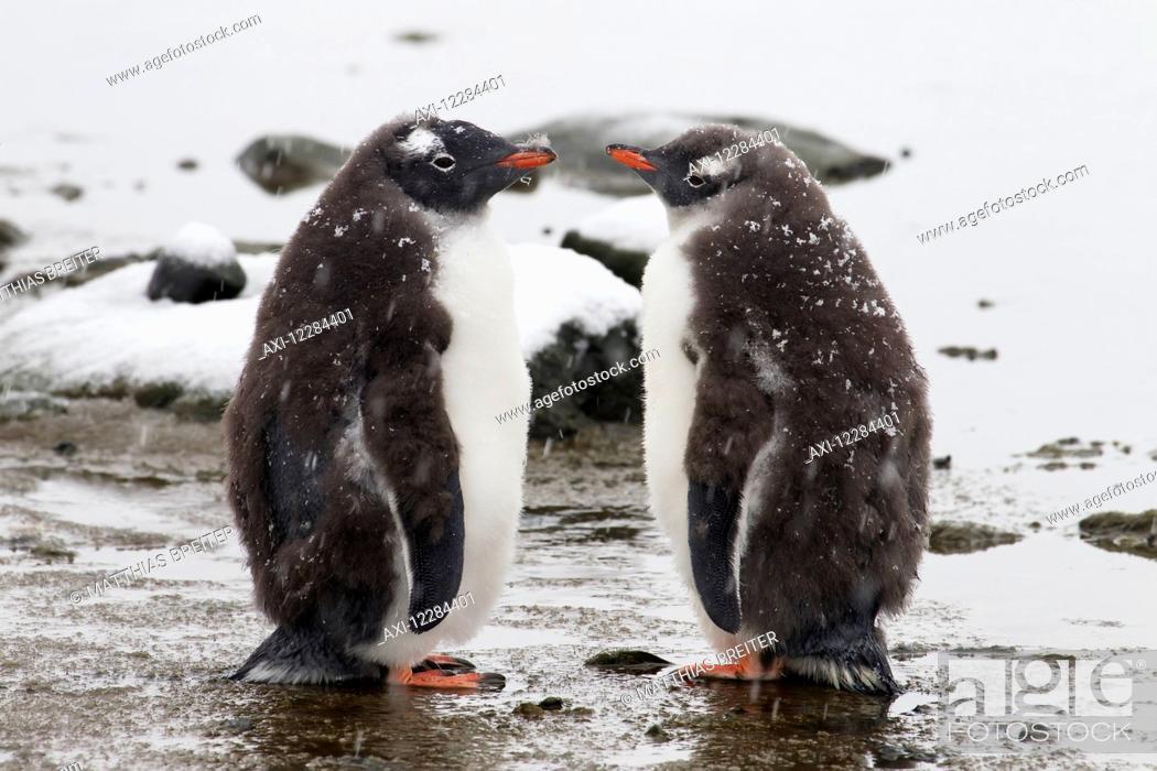 Stock Photo: Gentoo Penguin chicks waiting for parent (Pygoscelis papua) at Port Lockroy; Antarctica.