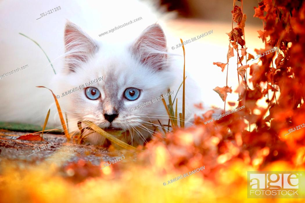 Stock Photo: Ragdoll Cat. Juvenile tomcat (13 weeks old) lurking in a garden in autumn. Germany.