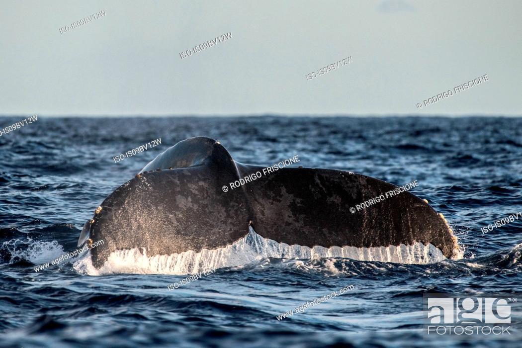 Stock Photo: Humpback whale flukes before deep dive.
