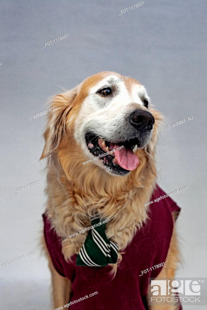 Stock Photo: A golden retriever wearing a tie and sweater vest.