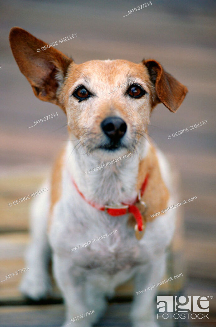 Stock Photo: dog with funny ears.