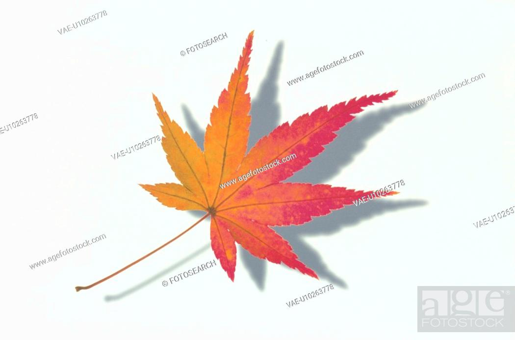 Stock Photo: The Autumn Leaves Of A Maple.