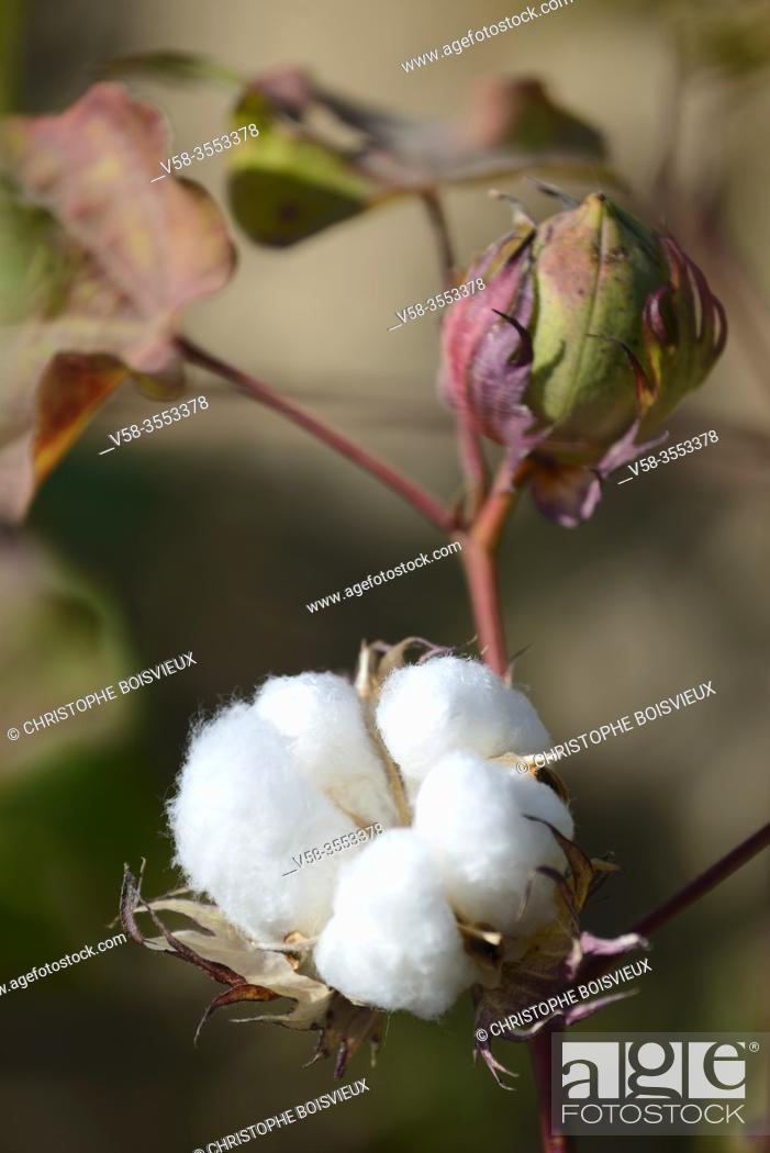 Stock Photo: Uzbekistan, Khorezm (Xorazm) region, Amu Darya delta, Cotton plant.