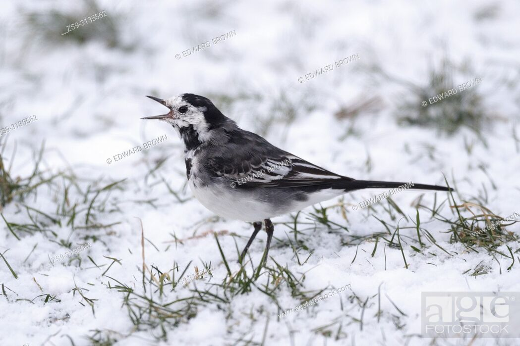 Stock Photo: A Pied wagtail (Motacilla alba) feeds on a snow covered lawn, East Sussex, UK.