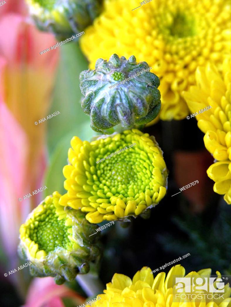 Stock Photo: Yellow chrysanthemum.
