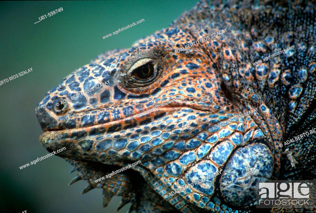Stock Photo: Green Iguana.