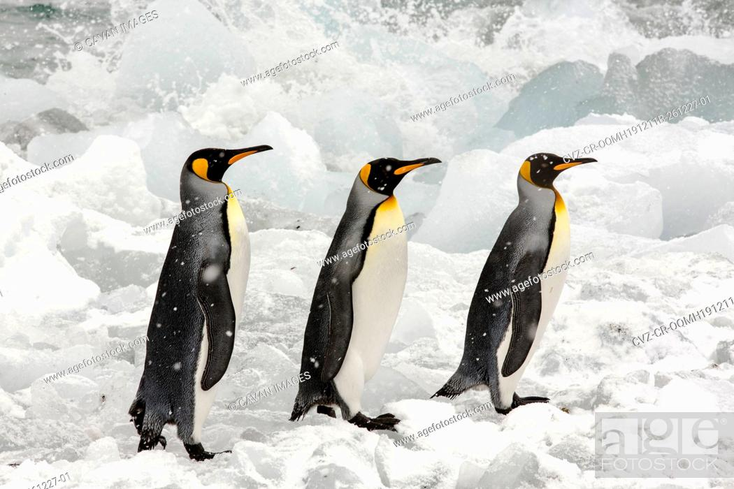Stock Photo: King Penguins head out to sea on a fishing trip past ice at Gold Harbour, South Georgia, Southern Ocean.